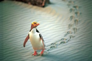 Penguin Otago Peninsula, Dunedin