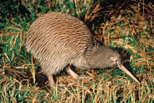 Kiwi vogel Nieuw Zeeland