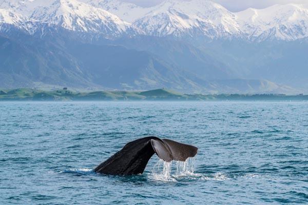 Kaikora walvis